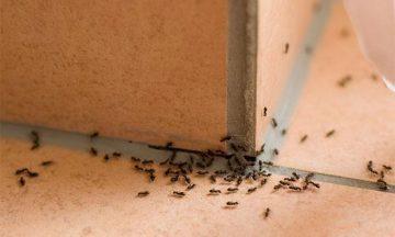 Come eliminare le formiche in casa